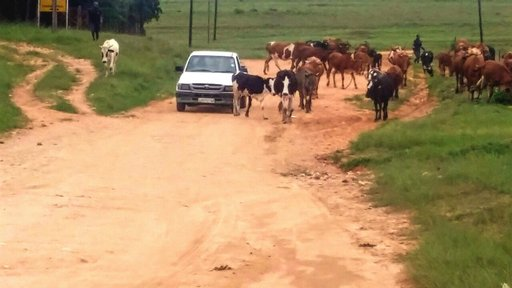 Morning traffic in the rural communities of Swaziland is a regular occurrence. Herd boys take the cattle to dip tanks and water every morning and evening.