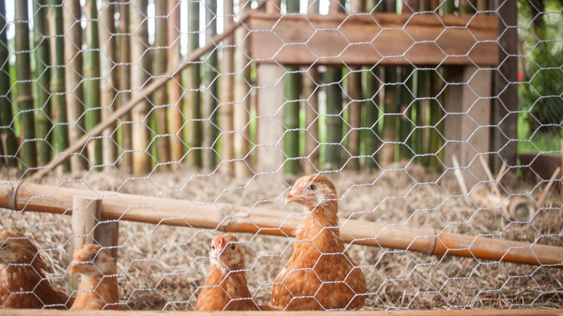 Chickens in a chicken coop.