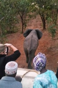 Recording the release of an elephant bull into the wildlife reserve during the first phase of the wildlife translocation.
