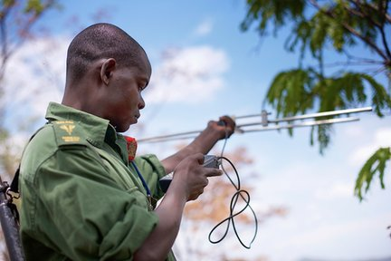 Reserve Ranger Bernard Moses radio-tracking collared elephants.