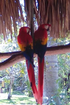 Two Scarlet Macaws at an ecopark just outside of the Palenque ruins in Chiapas, Mexico.