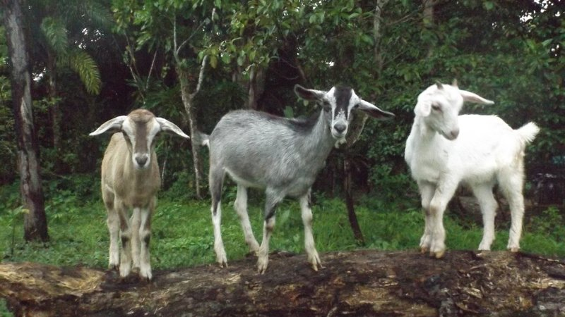 Three goats stand on a log.