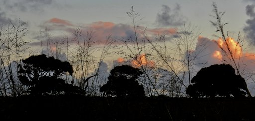 Tongan trees at sunset