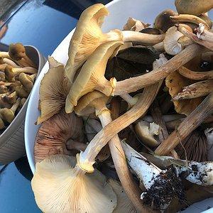 Funghi foraggiati dei campi