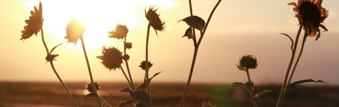 Calm sunflowers