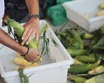 Corn Shucking