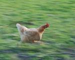 Chicken in Distress