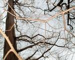 Metasequoia Branches